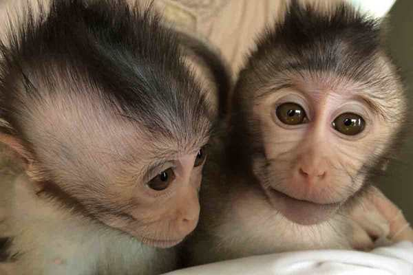 Des singes génétiquement modifiés pour avoir l'autisme