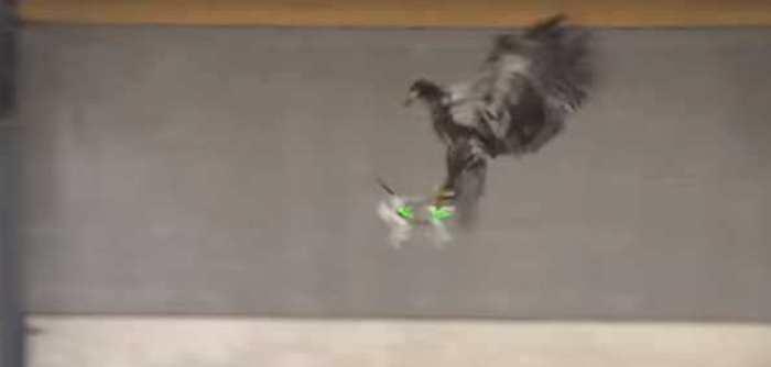 Des aigles pour chasser les drones illégaux