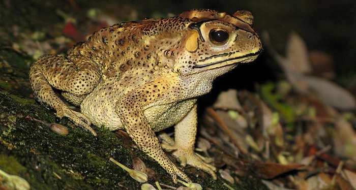 Le Crapaud asiatique, qu'on connait comme le Crapaud Masqué, pourrait détruire la biodiversité de Madagascar