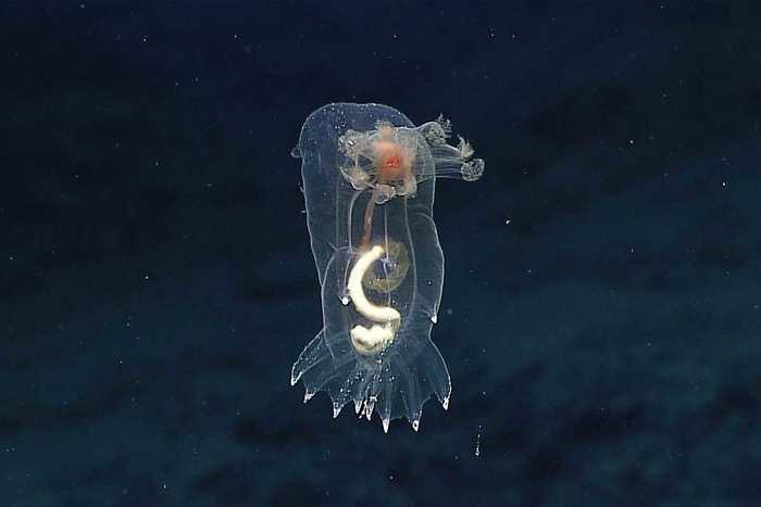 Une concombre de mer qui nage dans les eaux profondes