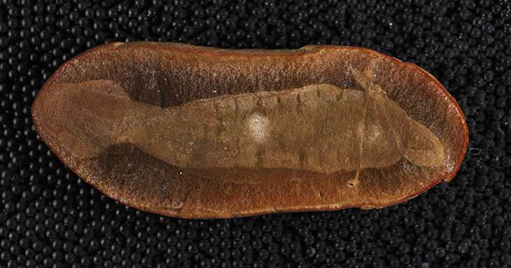 Un fossile du Monstre de Tully