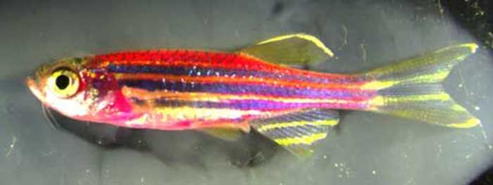 Un poisson-zèbre transgénique avec des milliers de couleurs pour comprendre la guérison d'une blessure