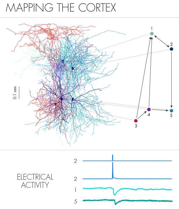 Andreas Tolias et ses collaborateurs ont cartographié les connexions parmi des paires de neurones et enregistré leurs activités électriques. L'anatomie complexe de 5 neurones (sur la gauche en haut) peut être retranscrit via un simple diagramme de circuit (sur la droite en haut). Injection de courant électrique dans le neuron 2 le déclenche, Des changements électriques dans 2 cellules en aval sur les neurones 1 et 5 (sur le bas).