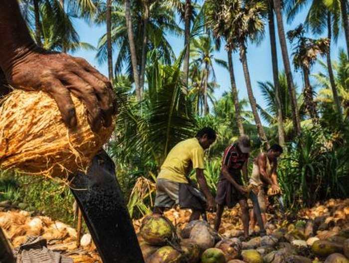 Cette maladie chronique des reins frappe principalement les fermiers tels que ces coupeurs de noix de coco, qui travaillent sous une chaleur écrasante dans le sud de l'Inde