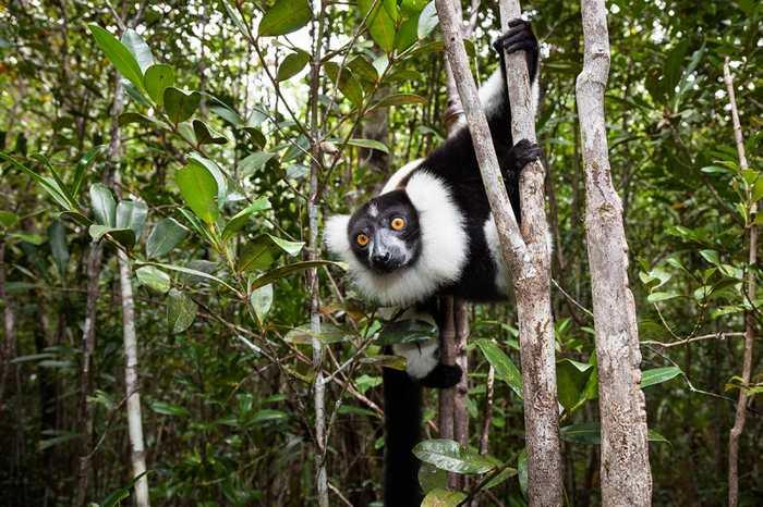 La disparition des lémuriens de Madagascar menace aussi les forêts de la Grande Île