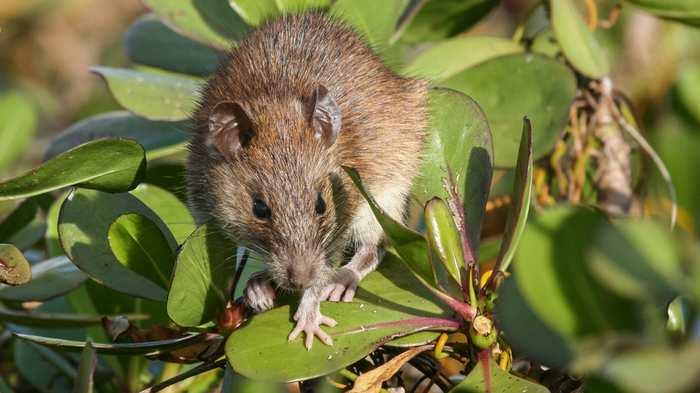 Comment des rats sur l'île d'Henderson ont échappé à 75 tonnes métriques de poison.