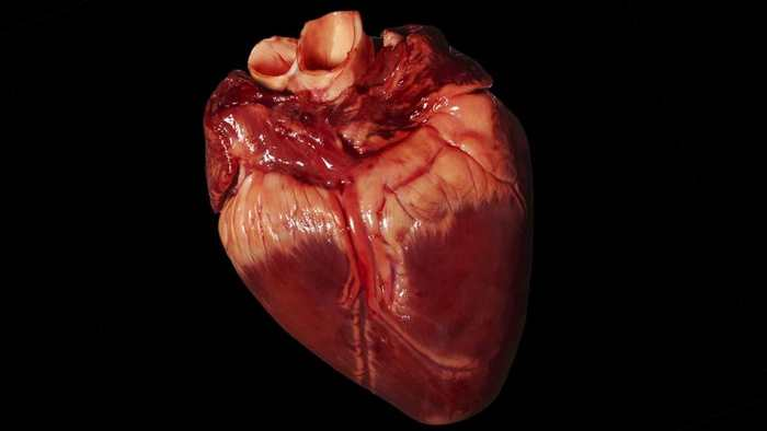 Des chercheurs ont réussi à transplanter des coeurs de porc dans des babouins pendant 2 ans dans le cadre d'une expérience pour améliorer la xénogreffe.