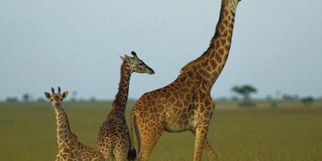 La longueur du cou de la girafe expliquée par son génome
