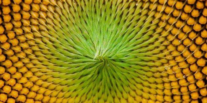 Les tournesols montrent des suites de Fibonacci complexes
