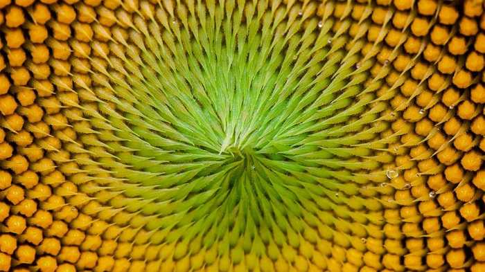 Les tournesols sont des champions pour afficher les suites de Fibonacci dans des formes complexes.