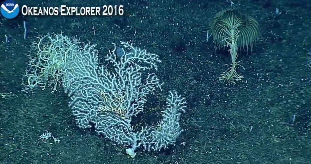 Un corail inconnu dans la Fosse des Mariannes (sur la droite)
