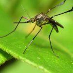 Une nouvelle étude montre que le virus Zika infecte directement le système cérébral et il peut éviter la détection par le système immunitaire.
