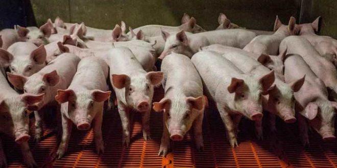 Qu'est-ce qu'on peut attendre des chimères humaines-porcs ?