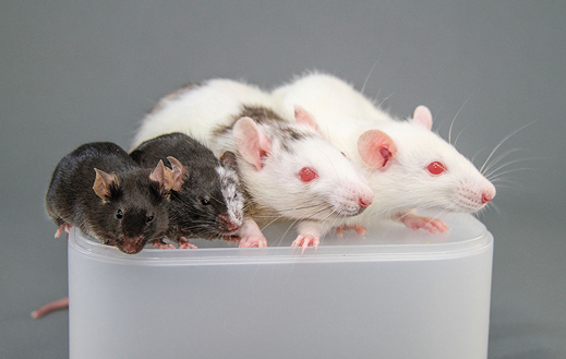Un exemple de chimère. De gauche à droite, une souris ordinaire, une souris partiellement un rat, un rat partiellement une souris, un rat blanc.