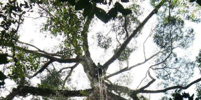 Découverte du plus grand arbre tropical en Malaisie