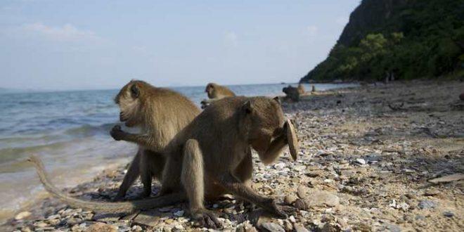 Même les macaques possèdent leur Âge de pierre