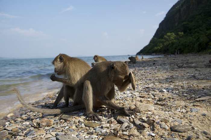 Les outils en pierre utilisés par les macaques révèlent que ces primates sont dans un Age de pierre comparé à celui des humains.
