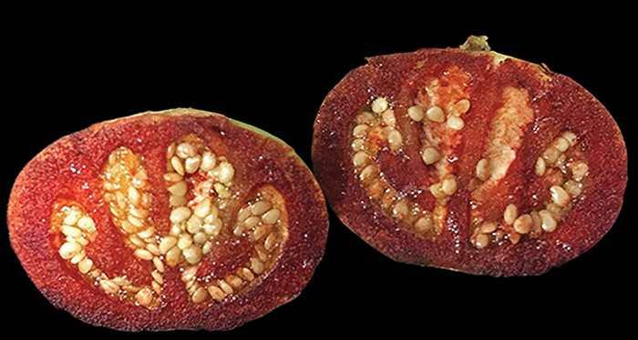 Une nouvelle espèce de tomate qui saigne