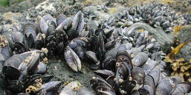 Un cancer contagieux chez les mollusques