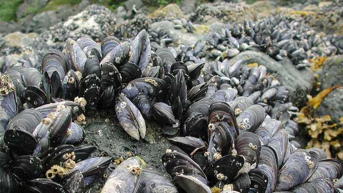 Les scientifiques découvrent un cancer contagieux chez les mollusques