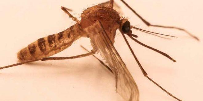 Une nouvelle espèce de moustique crée par l'activité humaine