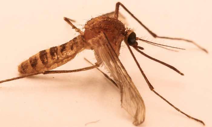 Le moustique London Underground est une nouvelle espèce qui est provoqué par l'activité humaine.