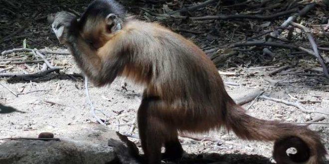 Les singes capucins utilisent des outils en pierre depuis des siècles