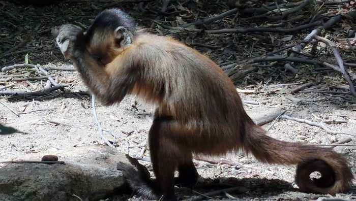 Les singes capucins cassent les noix de cajou avec des outils en pierre depuis des siècles