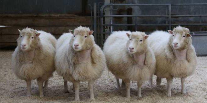 4 clones similaires à la brebis Dolly sont en parfaite santé