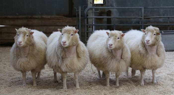 4 brebis clonées du même animal que la brebis Dolly sont en parfaite santé. Cela suggère que l'arthrose de la brebis Dolly n'était pas provoquée par le clonage.