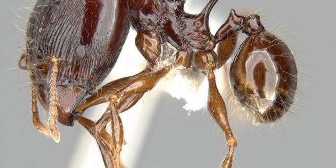 De nouvelles espèces de fourmis hérissées d'épines nommées d'après les dragons de Game of Thrones