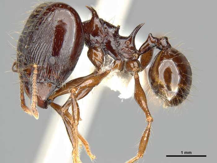 On a découvert de nouvelles espèces de fourmis qui possèdent des épines impressionnantes. D'un aspect plutôt effrayant, les chercheurs leur ont donné les noms des dragons de la série Game of Thrones.