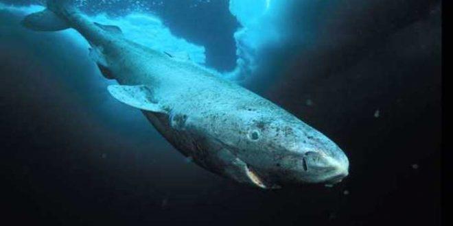 Un requin quasi aveugle peut vivre jusqu'à 5 siècles