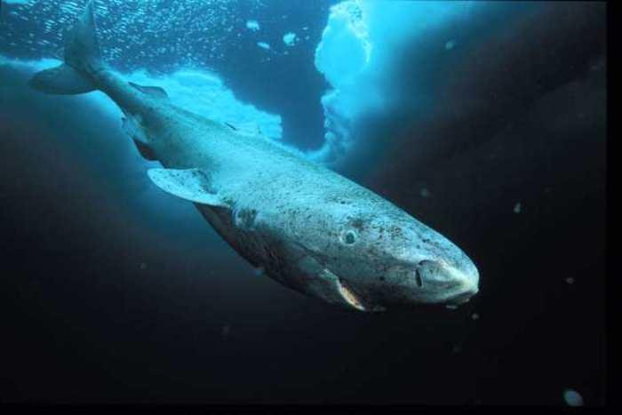 Un grand requin quasi aveugle, qui vit dans les eaux glacées de l'Atlantique du Nord et de l'Arctique, est officiellement le vertébré qui vit le plus longtemps. Le requin du Groenland peut vivre jusqu'à 5 siècles.
