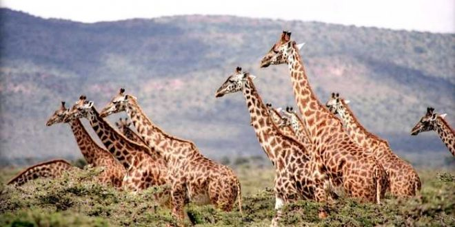 La girafe est en réalité 4 espèces différentes