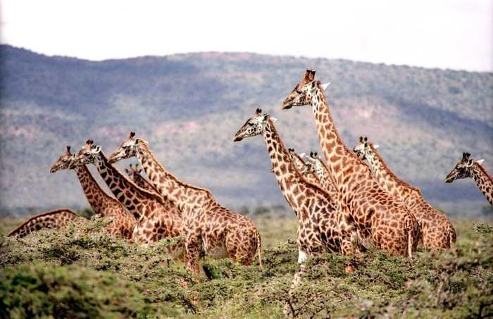 Une analyse ADN révèle que la girafe se compose en réalité de 4 espèces différentes. Si l'étude est confirmée, alors on doit revoir la protection de la girafe qui devient plus menacée qu'auparavant.