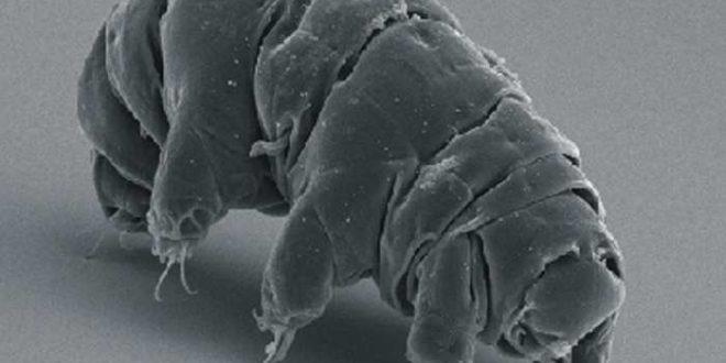 Des découvertes importantes sur la quasi-invicibilité des Tardigrades