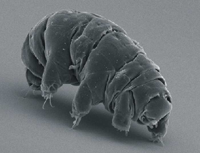 Des chercheurs japonais ont analysé le génome d'une espèce de tardigrades. Ils ont découvert comment ces petites créatures sont quasiment indestructibles, notamment contre la radiation des rayons X. Un potentiel pour de futurs traitements, mais il ne faut pas mettre la charrue avant les boeufs.