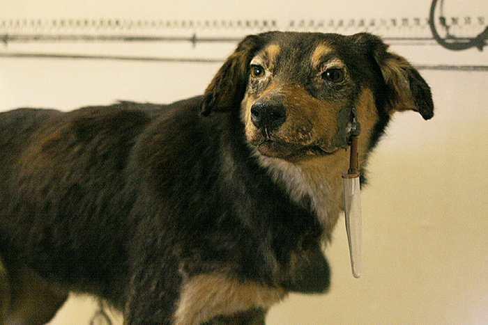 L'un des chiens d'Ivan Pavlov, un psychologue qui avait démontré l'effet de blocage.