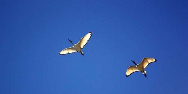 Pour éviter les collisions, les oiseaux virent toujours à droite
