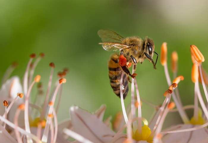 2 expériences montrent que les abeilles peuvent ressentir le bonheur ou plutôt une sensation proche du plaisir. Une étude qui peut pointer sur l'émotion chez ce type d'insecte.