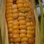 Les pays africains sont généralement réticents à la culture des OGM, mais la sécheresse force les gouvernements, notamment la Tanzanie à accepter des tests pour des plantes OGM résistantes à la sécheresse.