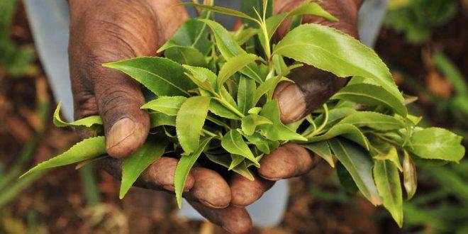 Le Khat à Madagascar ou l'or vert inexploité
