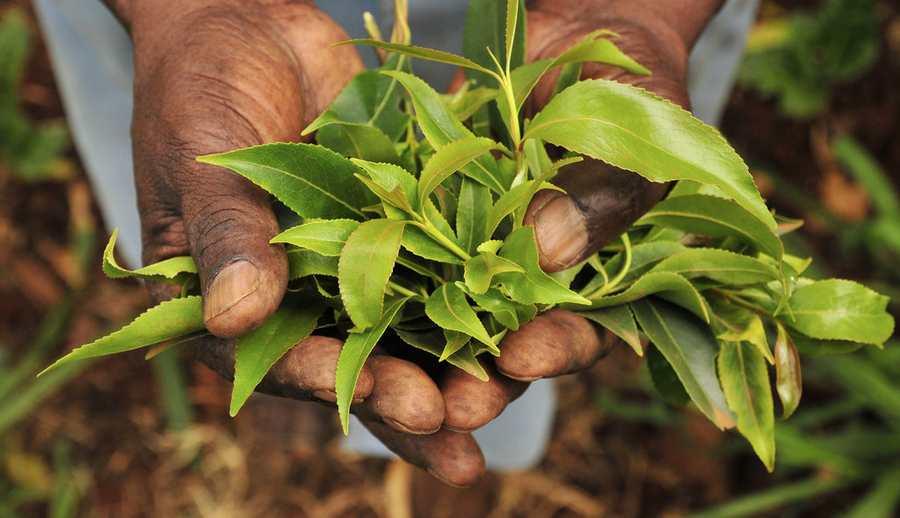 Principalement présent dans le nord de Madagascar avec la ville de Diégo-Suarez, la production et la consommation de Khat, une plante avec des propriétés proches des amphétamines posent des questions sur l'exploitation de cette substance sur le plan économique et social.