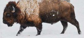 Le «bison de Higgs» était un hybride entre un bison et une vache