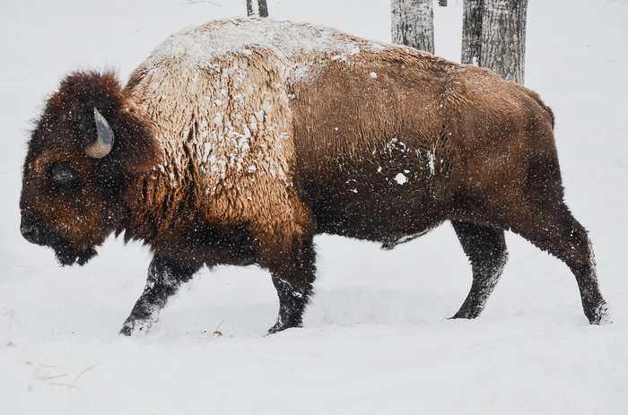 Des analyses génétiques révèlent qu'une étrange créature bovine peinte pendant l'âge de glace est en réalité un hybride entre un bison et une vache.
