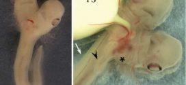 Découverte d'un embryon de requin avec 2 têtes