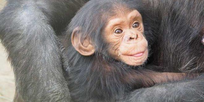 Le chimpanzé et les bonobos se sont accouplés et échangé leurs gènes