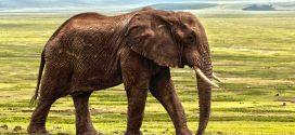 La majorité de l'ivoire illégal provient du braconnage récent