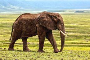 Une recherche démontre que la majorité de l'ivoire illégal provient du braconnage récent sur les éléphants. Cela contredit l'hypothèse sur l'influence des anciens stocks et que la protection des éléphants restants doit être une priorité.